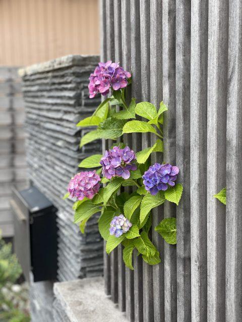 あやくら 紫陽花