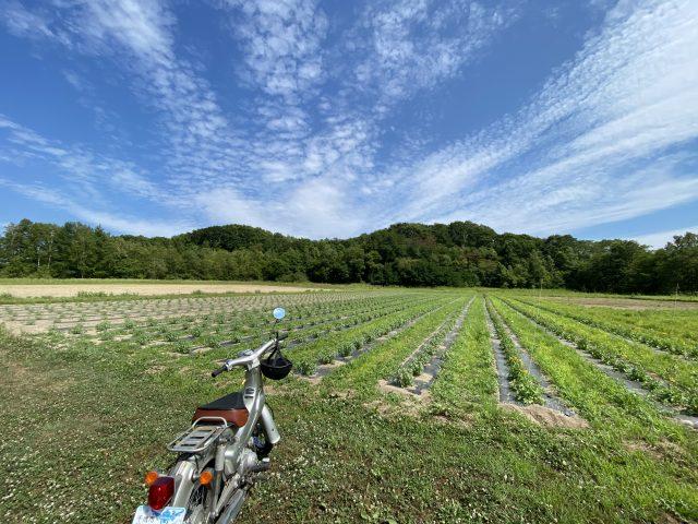 ホージーバジル   畑